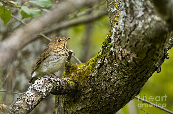 Swainsons Thrush Photograph - Swainsons Thrush Pictures 10 by World Wildlife Photography