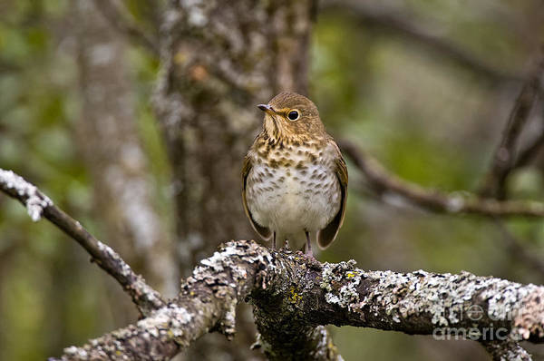 Swainsons Thrush Photograph - Swainsons Thrush Pictures 14 by World Wildlife Photography