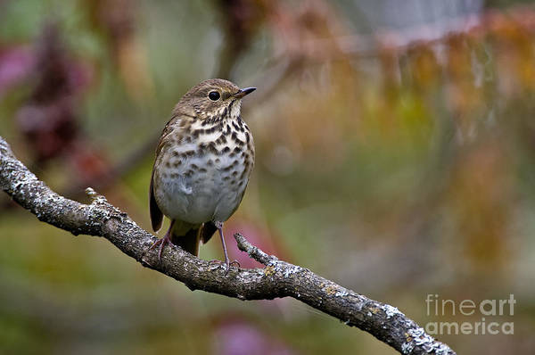 Swainsons Thrush Photograph - Swainsons Thrush Pictures 7 by World Wildlife Photography