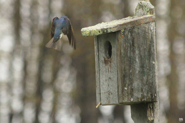 Photograph - Swallow Homecoming by John Meader