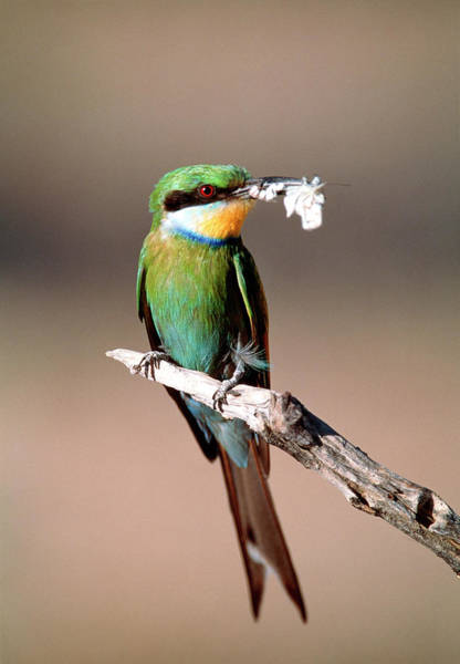 Swallow Photograph - Swallow-tailed Bee-eater by Tony Camacho/science Photo Library
