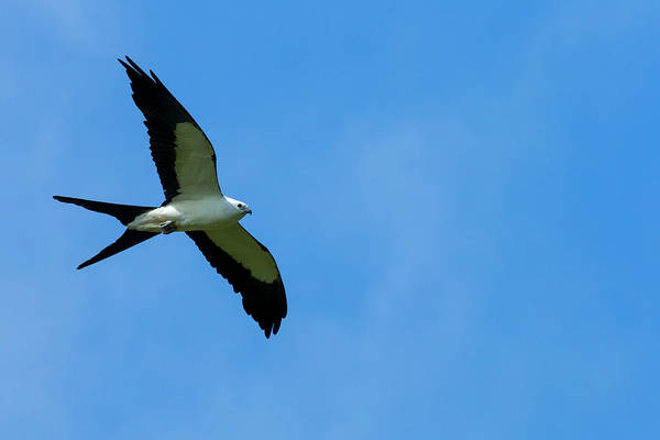 Colony Photograph - Swallow-tailed Kite In Flight by Maresa Pryor