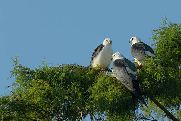 Colony Photograph - Swallow-tailed Kites Roosting by Maresa Pryor