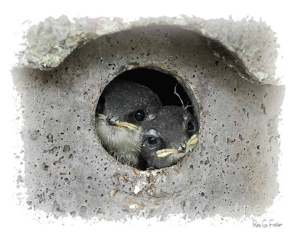 Violet-green Swallow Photograph - Swallows In Birdhouse  by Ray G Foster