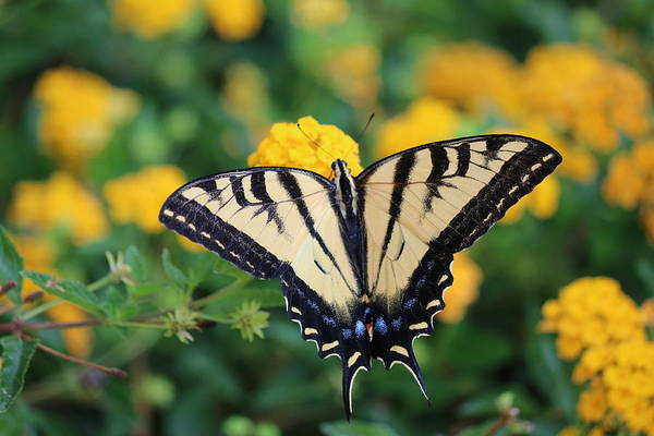 Photograph - Swallowtail - 1 by Christy Pooschke