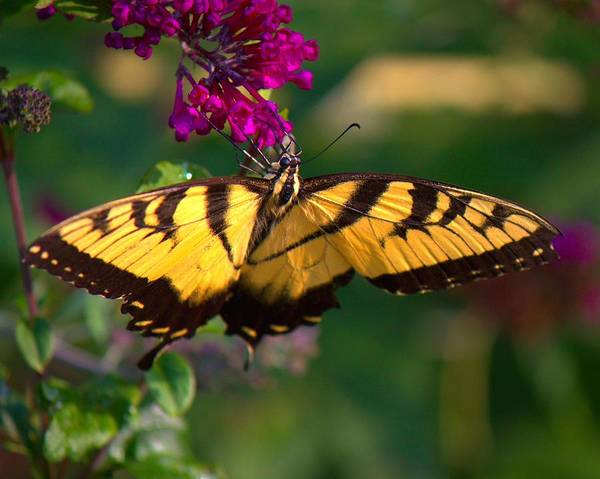 Photograph - Swallowtail 1 by John Feiser