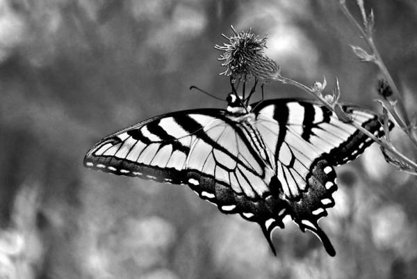 Photograph - Swallowtail At Rest Ins 69 by G L Sarti