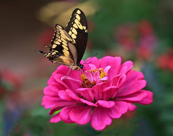 Photograph - Swallowtail Butterfly by Beth Sargent