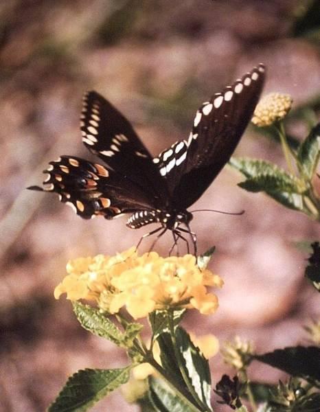 Belinda Lee - Swallowtail Butterfly Feeding