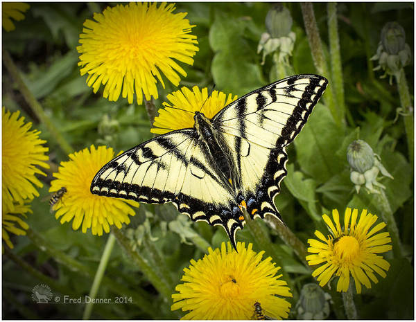 Photograph - Swallowtail Butterfly by Fred Denner