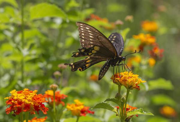 Photograph - Swallowtail Butterfly On Lantana by Steven Schwartzman