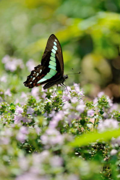 Swallowtail Butterflygraphium Sarpedon Art Print by Myu-myu