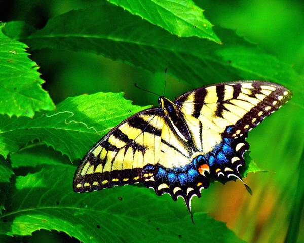 Photograph - Swallowtail by Carol Montoya