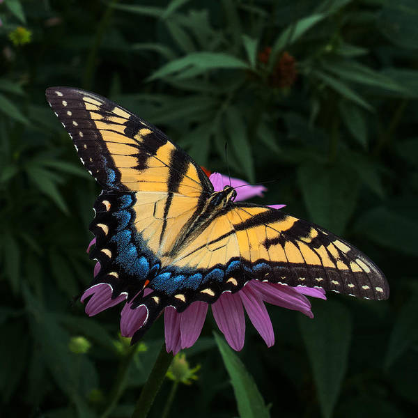 Swallowtail Photograph - Swallowtail  by Don Spenner
