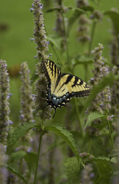 Photograph - Swallowtail In Flower Field by Donald Brown