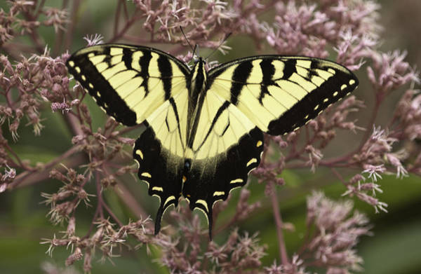 Photograph - Swallowtail In Pink by Donald Brown