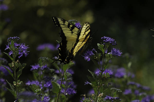Photograph - Swallowtail In Purple Field by Donald Brown