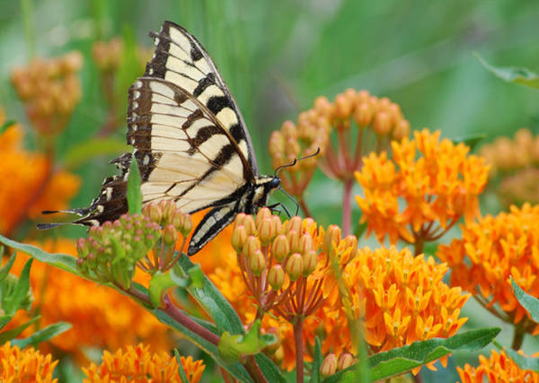 Photograph - Swallowtail by Larah McElroy