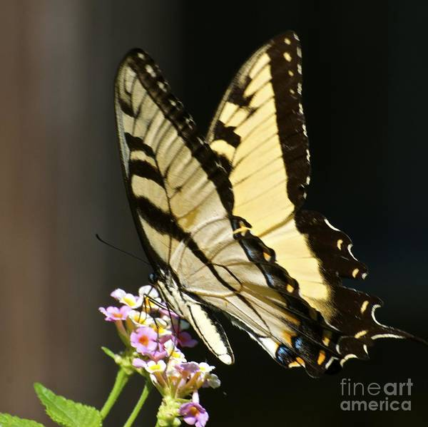 Photograph - Swallowtail On Lantana by AnnaJo Vahle