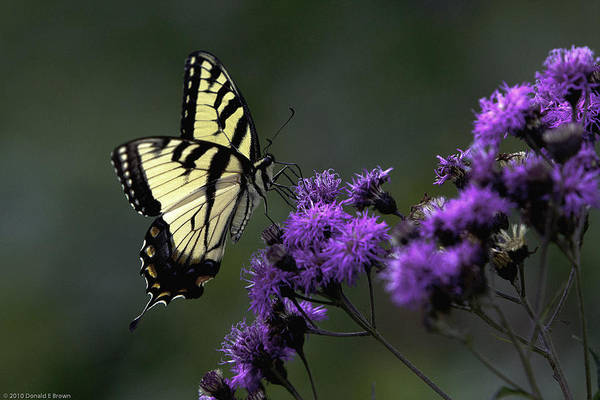 Photograph - Swallowtail On Purple by Donald Brown