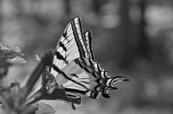 Photograph - Swallowtail by Ron White