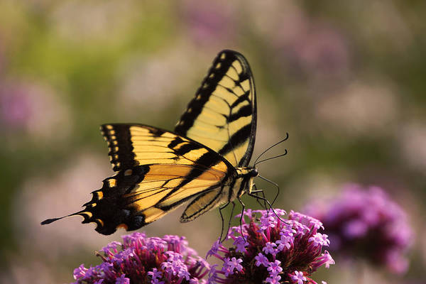 Photograph - Swallowtail Sweetness by Leda Robertson