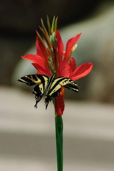 Photograph - Swallowtail by Tam Ryan