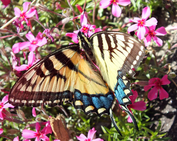 Photograph - Swallowtail Tiger Butterfly On Phlox Flowers by Duane McCullough