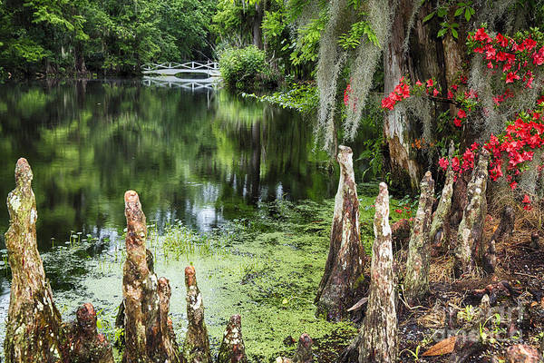 Wall Art - Photograph - Swamp Cypress With Spanish Moss And Azalea by George Oze