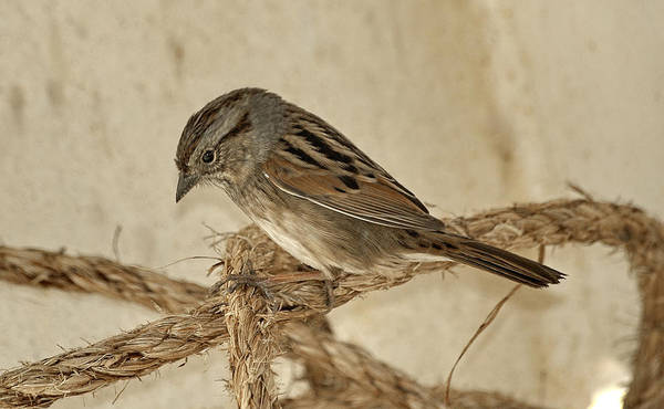 Photograph - Swamp Sparrow On Rope by Bradford Martin
