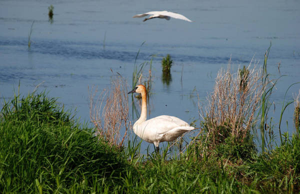 Horicon Marsh Photograph - Swan And Egret by Janice Adomeit