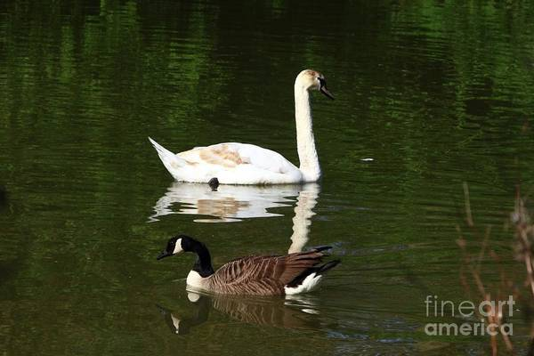 Photograph - Swan And Goose by Jeremy Hayden
