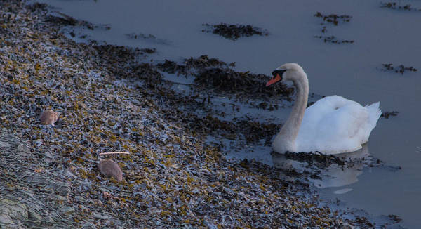 Medway Wall Art - Photograph - Swan And Rats by Dawn OConnor