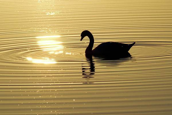 Cygnus Photograph - Swan At Sunset by Dr. John Brackenbury/science Photo Library