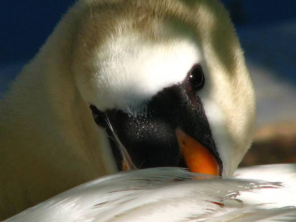 Photograph - Swan by Cleaster Cotton
