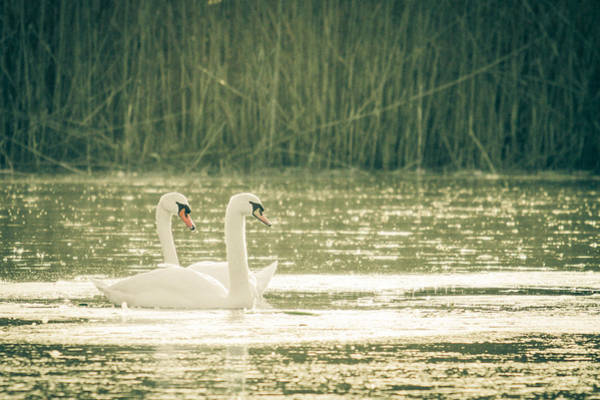 Photograph - Swan Duo by Eleanor Abramson
