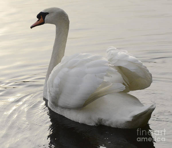 Swan Photograph - Swan Elegance by Bob Christopher