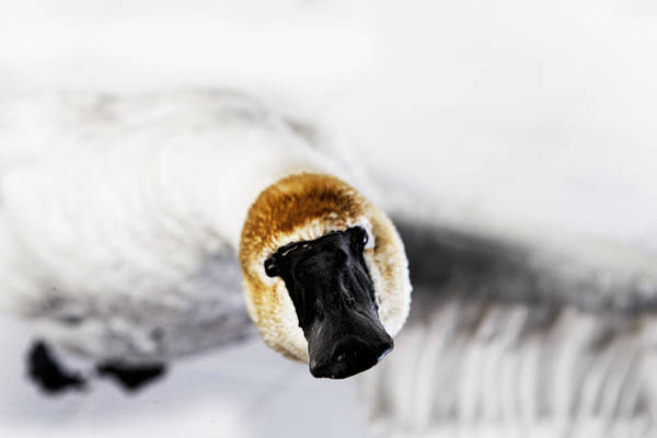 Photograph - Swan by Evie Carrier