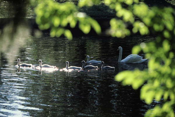 Animal Place Photograph - Swan Family In A Lake, Middleton Place by Animal Images
