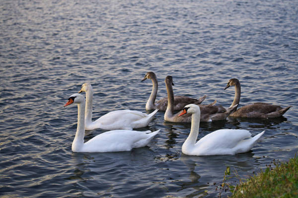 Photograph - Swan Family by Ivan Slosar