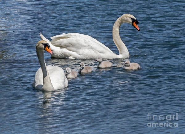 Photograph - Swan Family Redux by Kate Brown