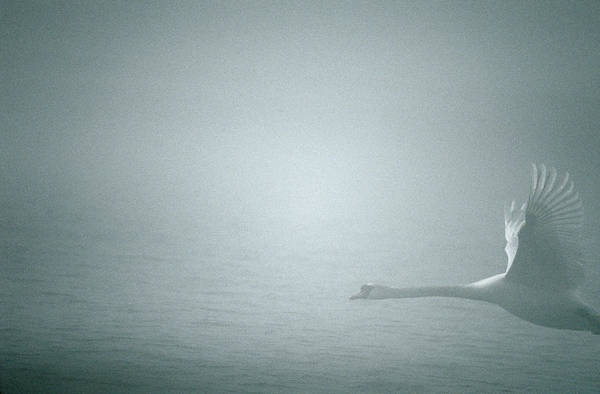 Cygnus Photograph - Swan Flying In Fog by Dan Sams/science Photo Library