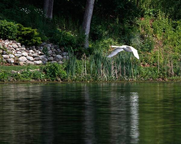 Photograph - Swan In Flight by Eleanor Abramson
