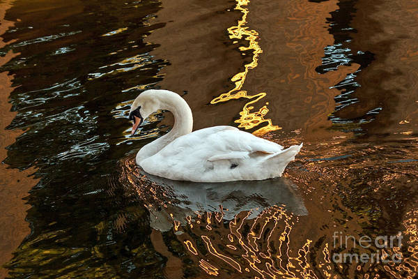 Photograph - Swan In Reflections by Kate Brown