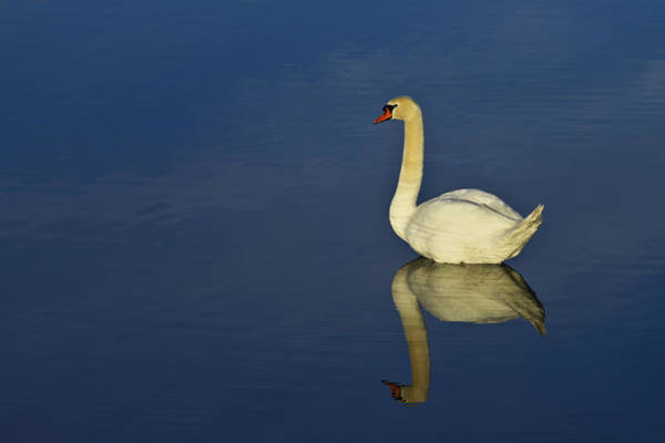 Photograph - Swan by Ivan Slosar