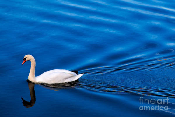 Swan Photograph - Swan Lake by Adrian Evans