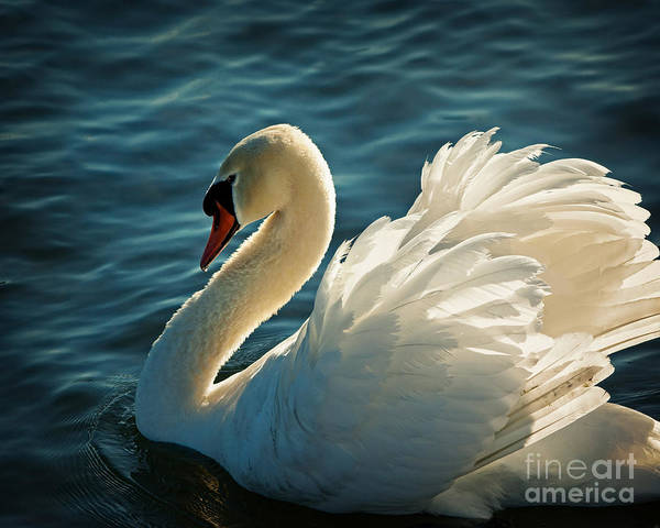 Photograph - Swan Lake by Edmund Nagele