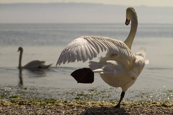 Photograph - Swan Lake by Karim SAARI