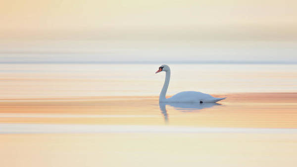Wall Art - Photograph - Swan by Leif L??ndal