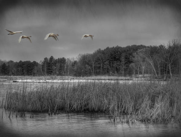 Wall Art - Photograph - Swan Migration by Thomas Young